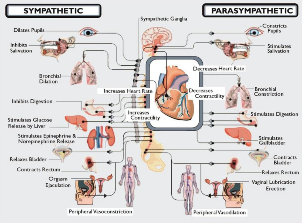 Autonomic Nervous System Graphic